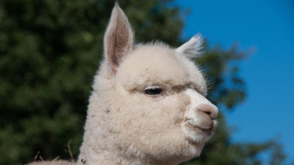Alpaka, Foto: INGImage